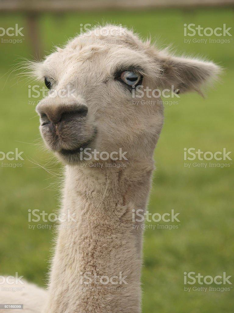 Funny Face Llama stock photo