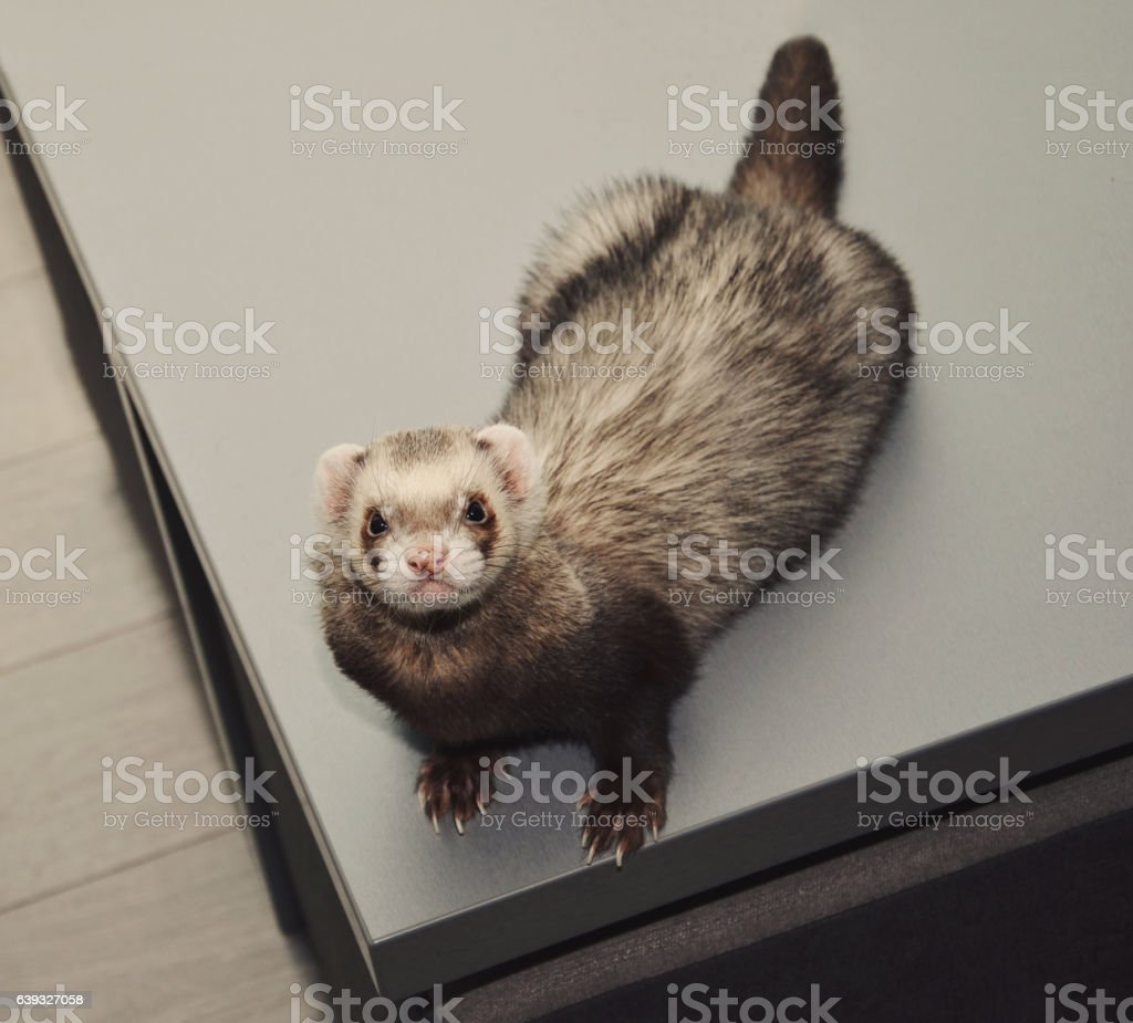 Funny ferret, top view stock photo