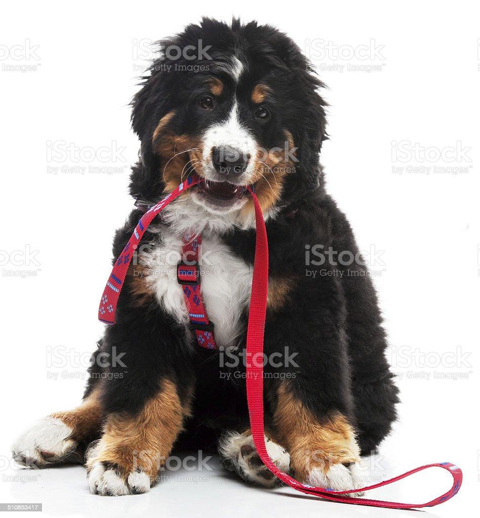 Funny fluffy puppy stock photo