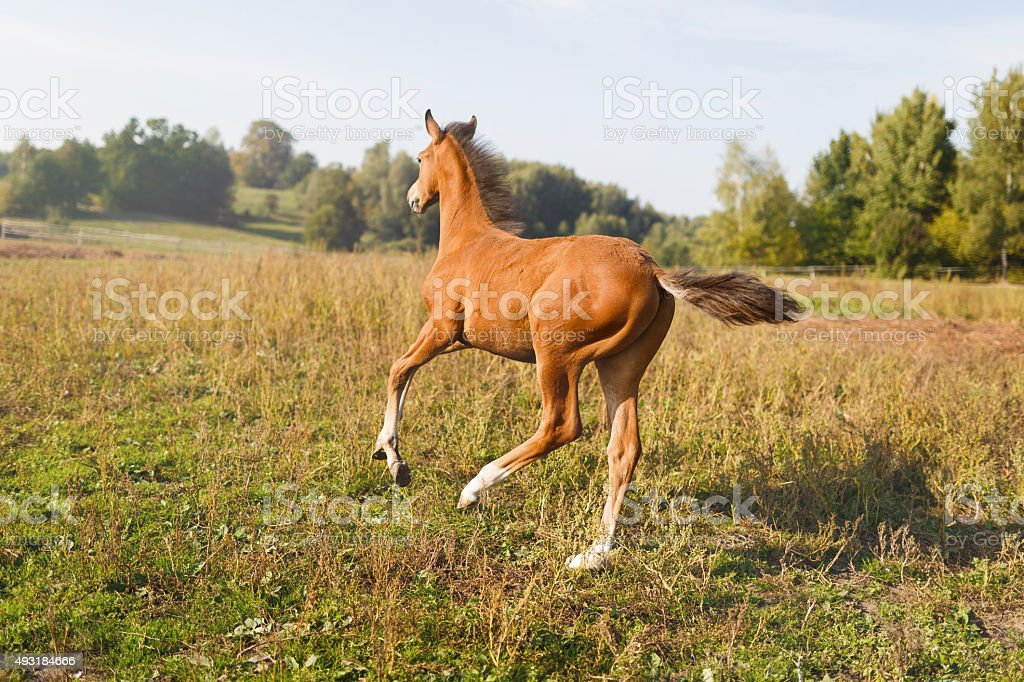Funny foal running around stock photo