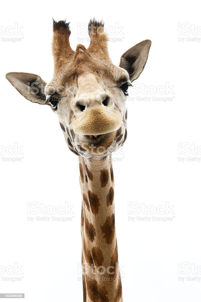 Funny Giraffe stock photo
