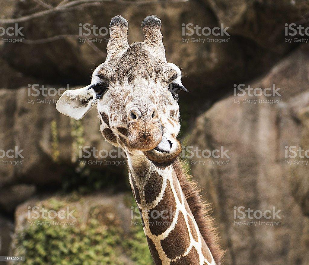 Funny Giraffe royalty-free stock photo