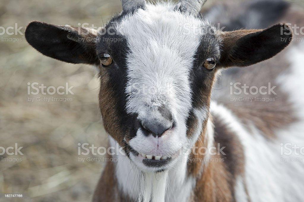 Funny Goat royalty-free stock photo