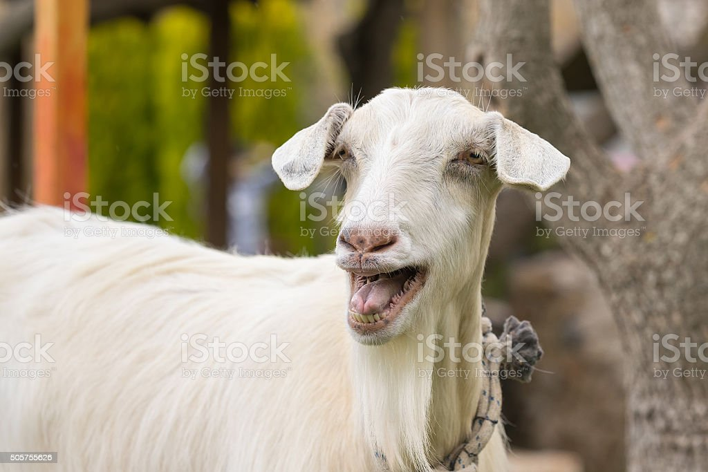 Funny goat portrait. A close up look. stock photo