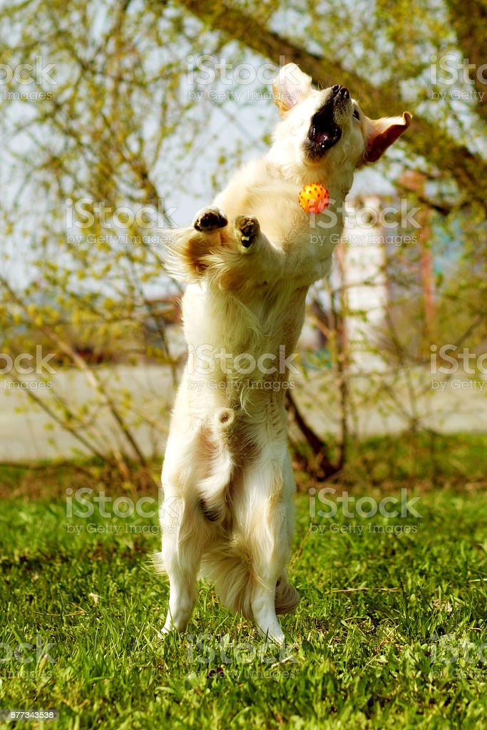 funny Golden Retriever dog playing with a ball stock photo