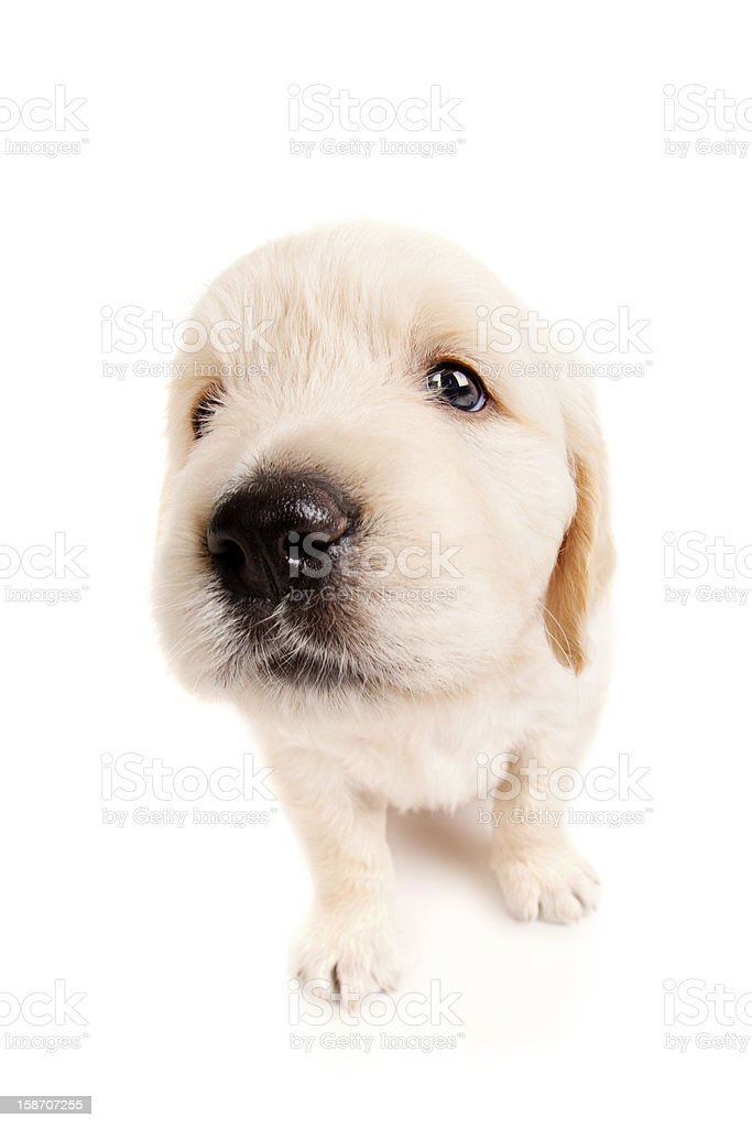 Funny golden retriever puppy royalty-free stock photo