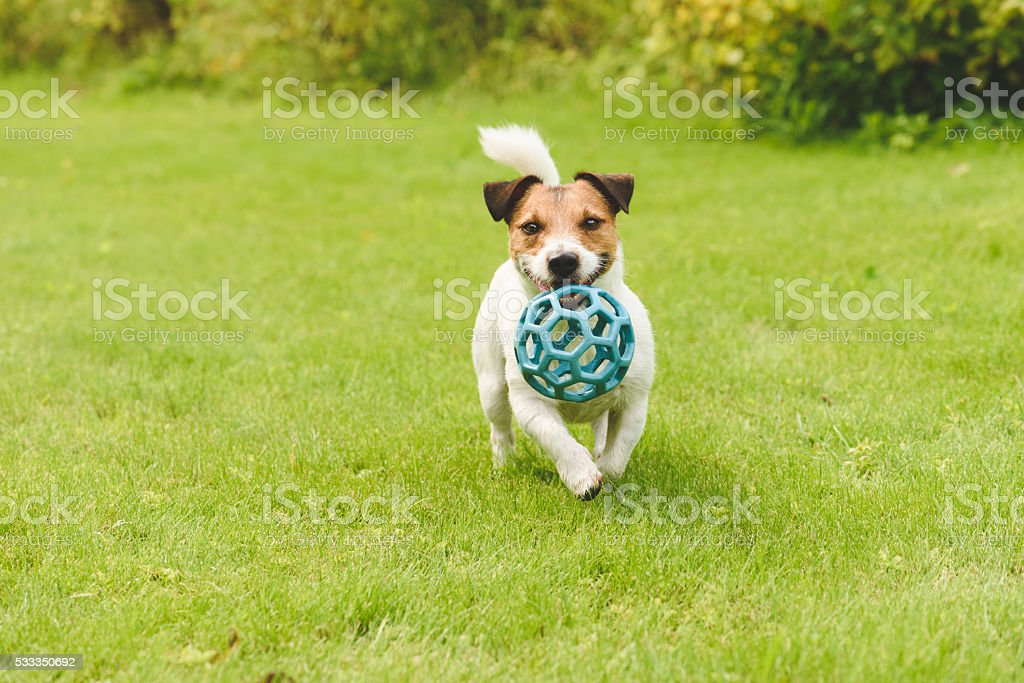 Funny happy dog playing with toy running on camera stock photo