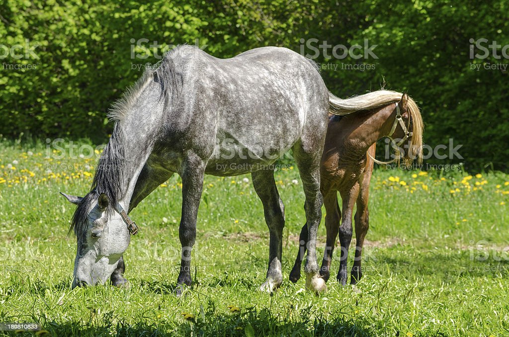 funny hiding - warmblood horse mare and foal royalty-free stock photo