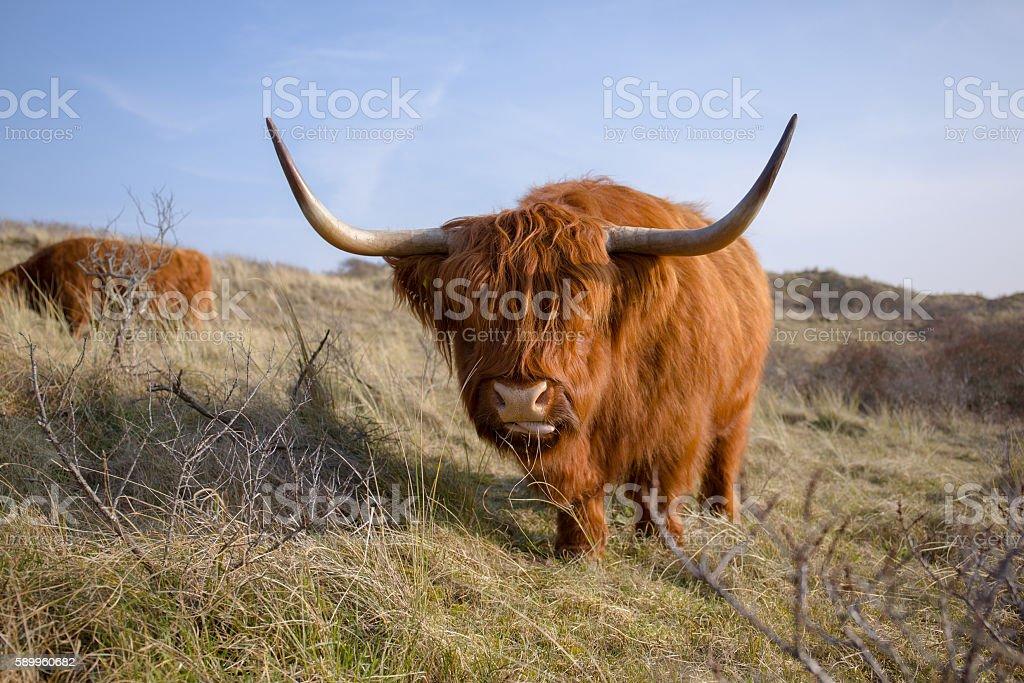 funny hightlander cow stock photo