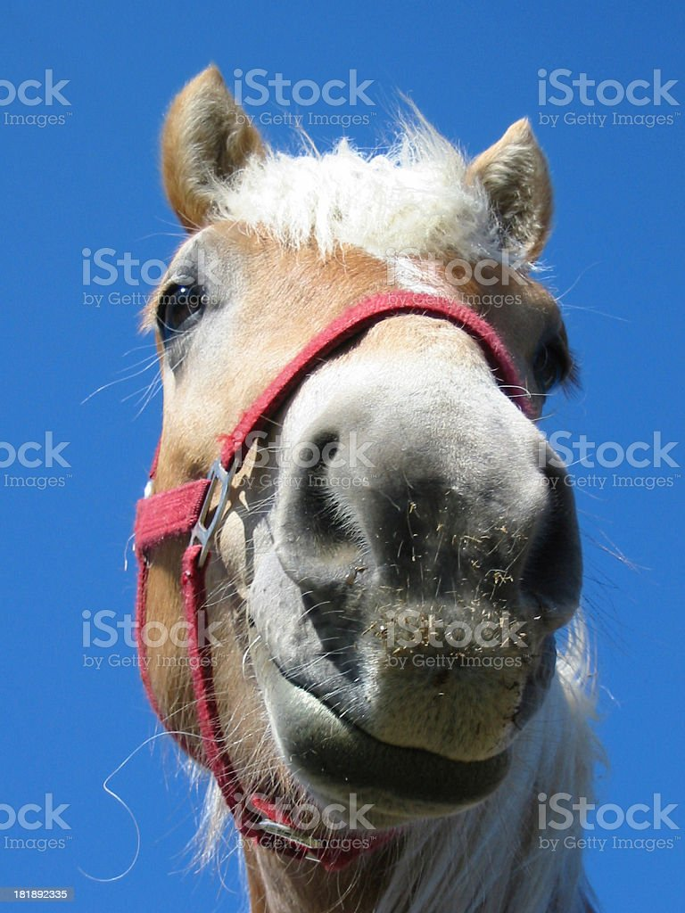 Funny Horse Face royalty-free stock photo