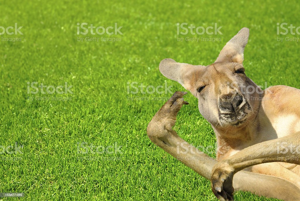 Funny human looking kangaroo on a lawn stock photo