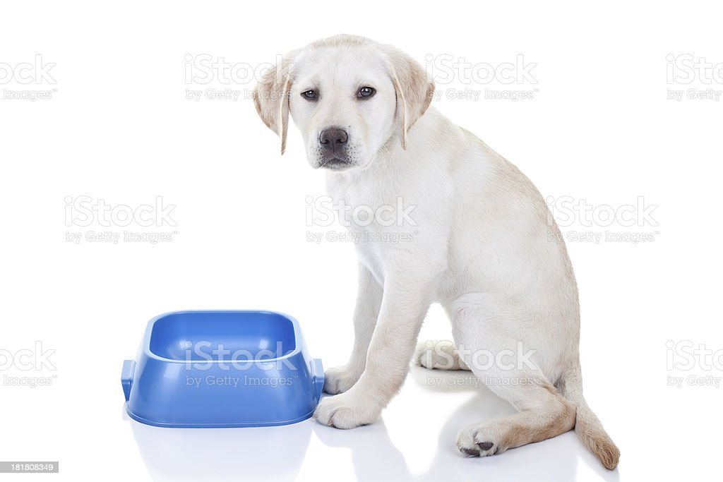 Funny Hungry Puppy royalty-free stock photo