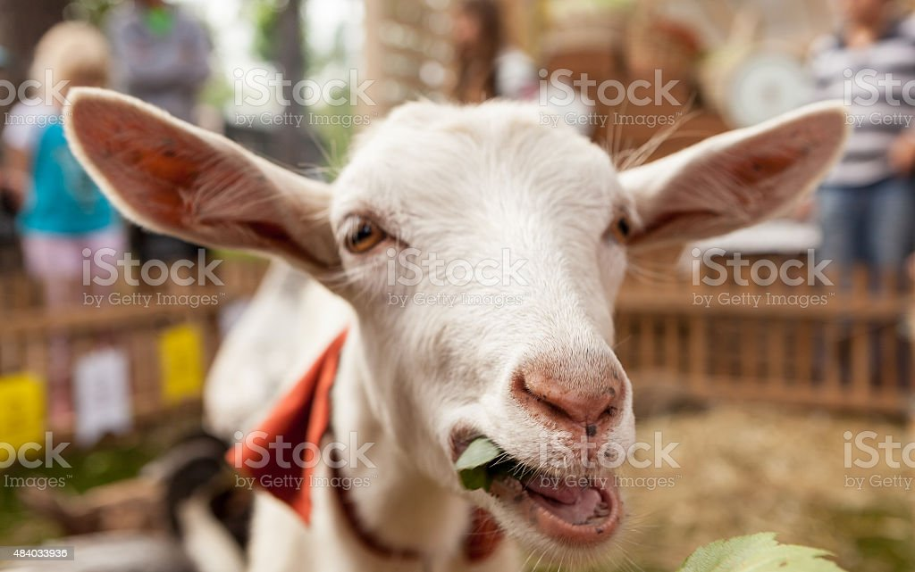 funny kid goat grazing in field stock photo