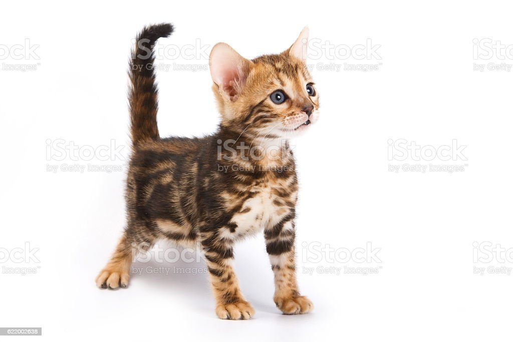 Funny Kitten Bengal cat (isolated on white) stock photo