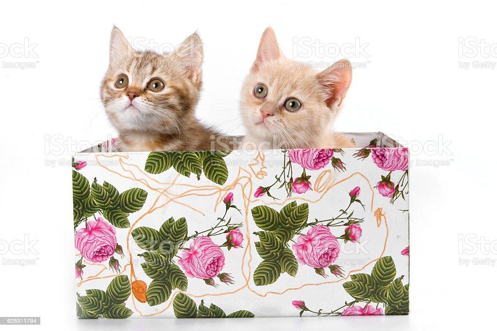 Funny kitten British cat (isolated on white) stock photo
