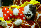Funny kitten dress up cat is sleeping