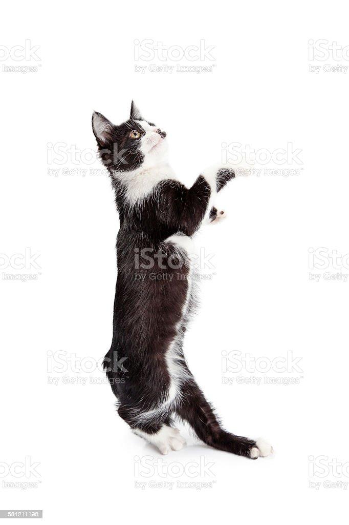 Funny Kitten Standing Up Dancing stock photo