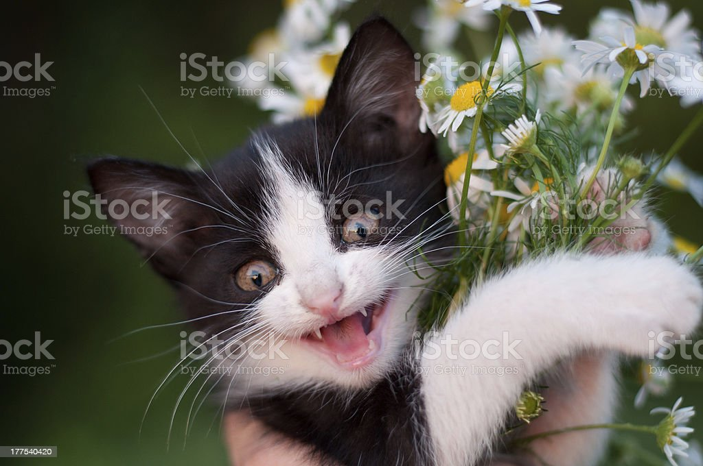 funny kitten with a bouquet of daisies royalty-free stock photo