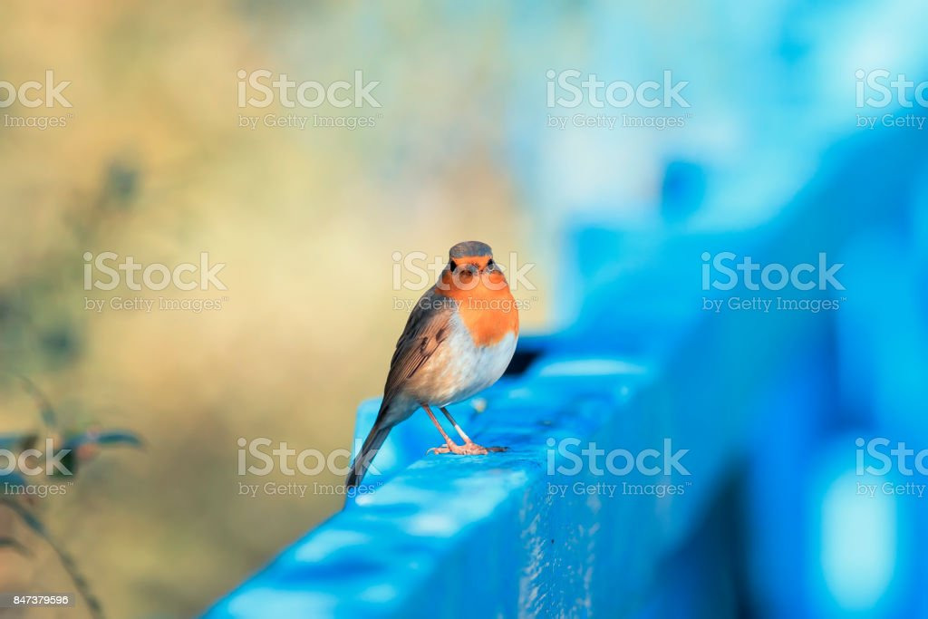 funny little  bird Robin sitting on a blue wooden fence on a Sunny day stock photo