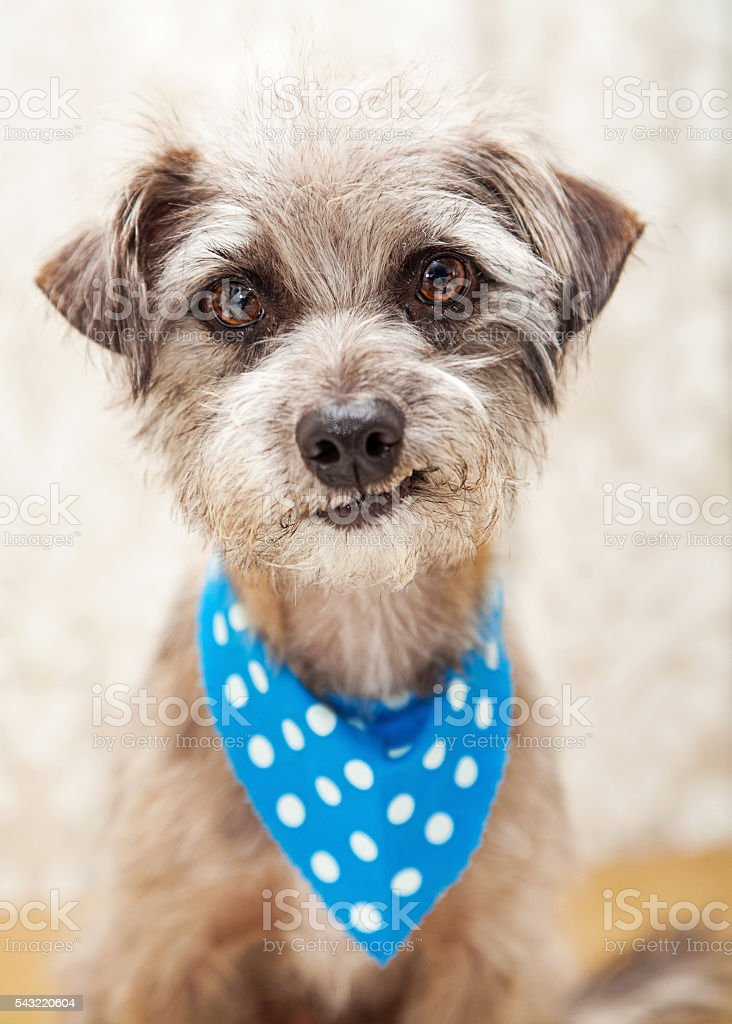 Funny Little Dog In Home Smirking stock photo