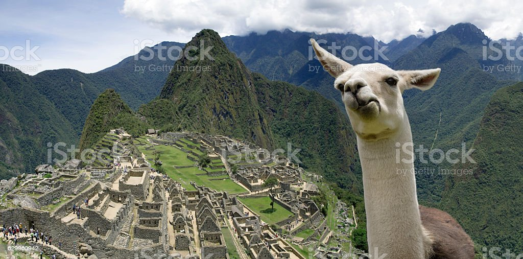 Funny Llama in Machu Picchu stock photo