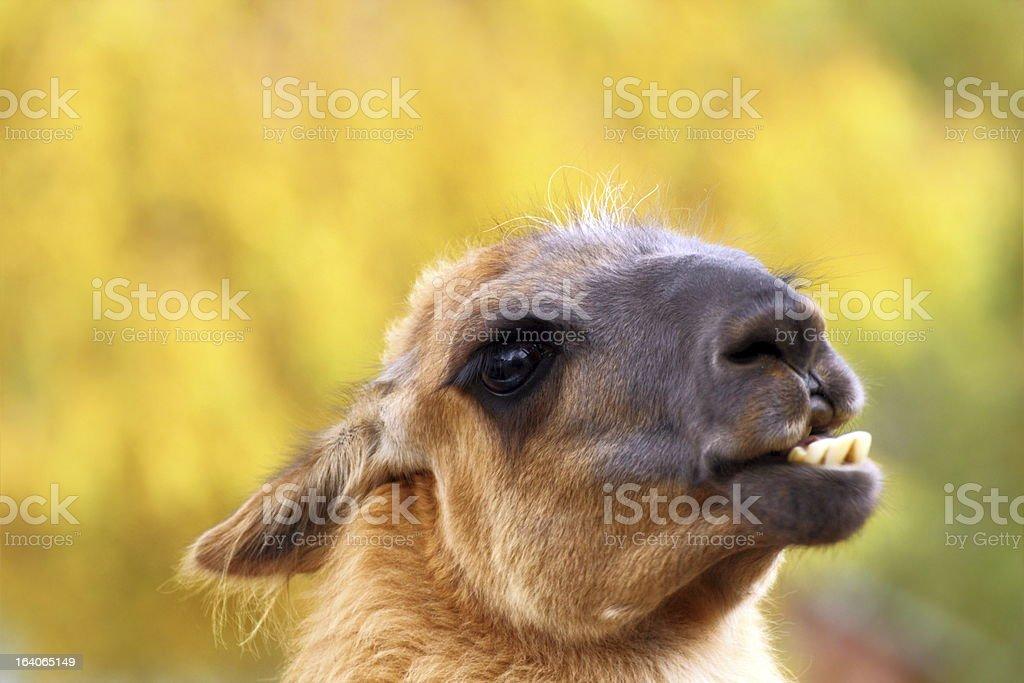 funny llama royalty-free stock photo