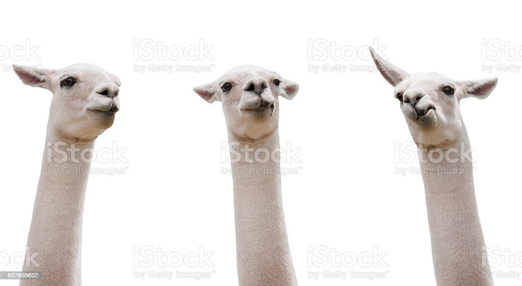 Funny Llamas isloated on white stock photo