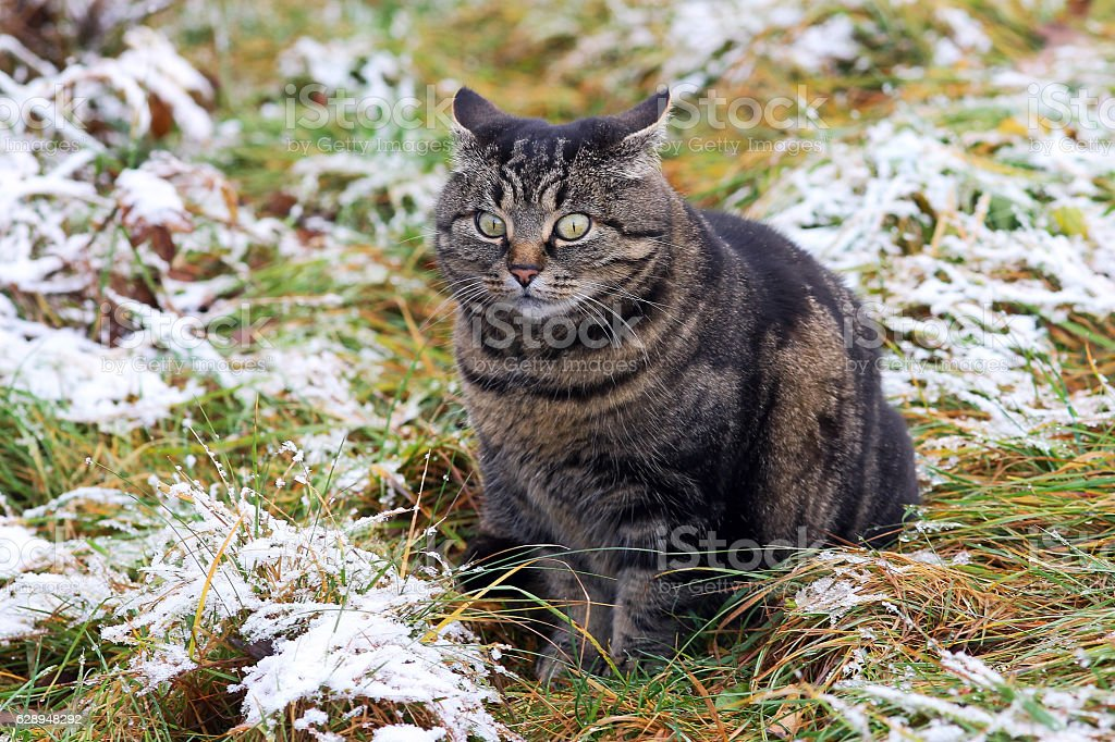 Funny look of a fat cat stock photo