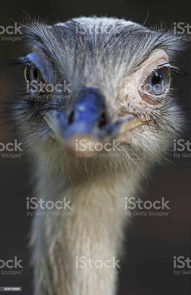 Funny looking ostrich stock photo