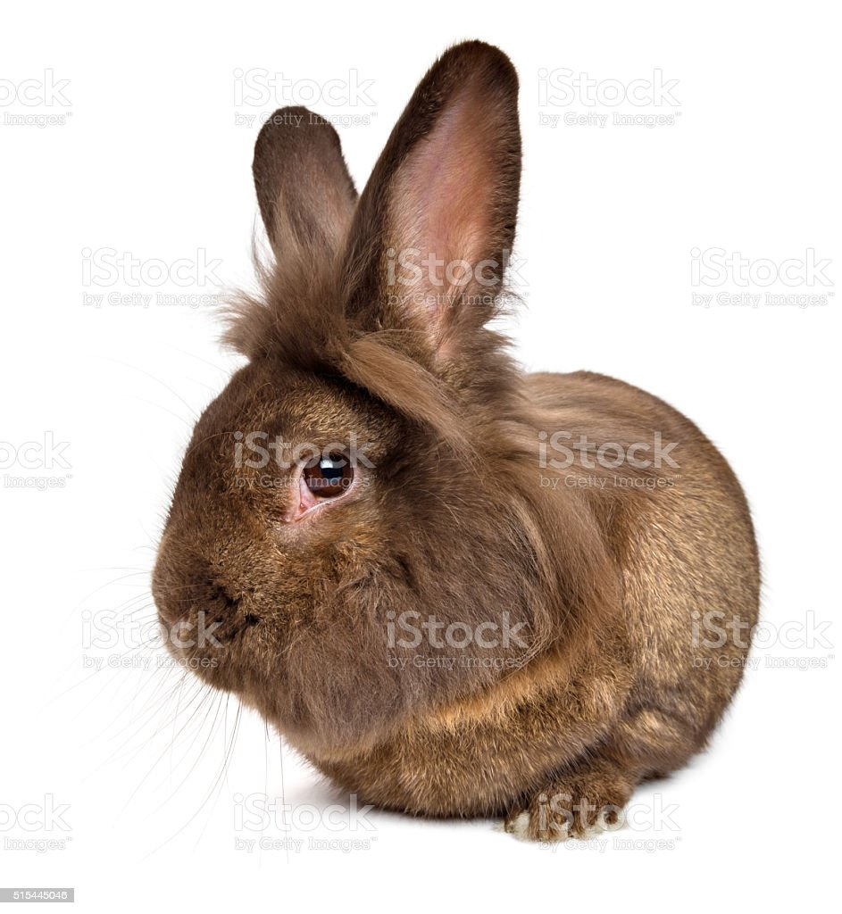 Funny lying chocolate colored lionhead rabbit stock photo