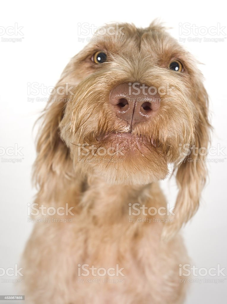 Funny Macro Pointer Wirehaired Vizsla Dog Poitrait stock photo