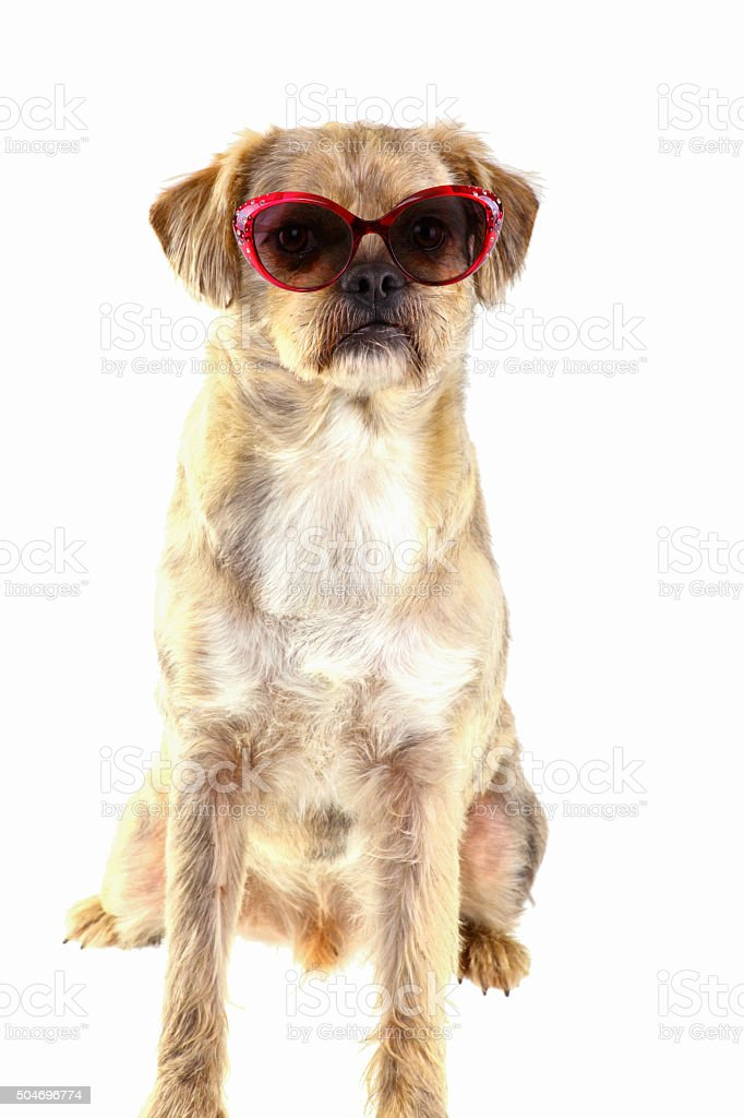 Funny mixed Breed Dog with sunglasses - isolated stock photo