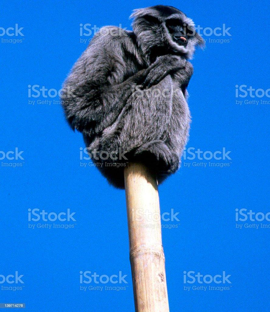 Funny Monkey royalty-free stock photo