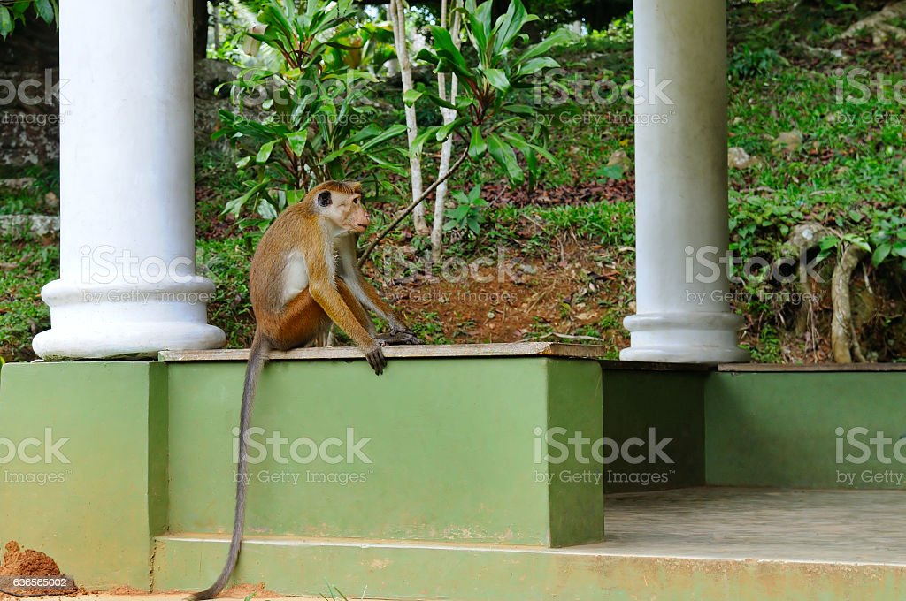 Funny monkey with a long tail. stock photo