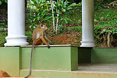 Funny monkey with a long tail.