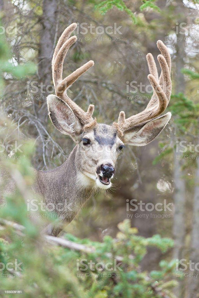 Funny mule deer buck portrait with velvet antler royalty-free stock photo