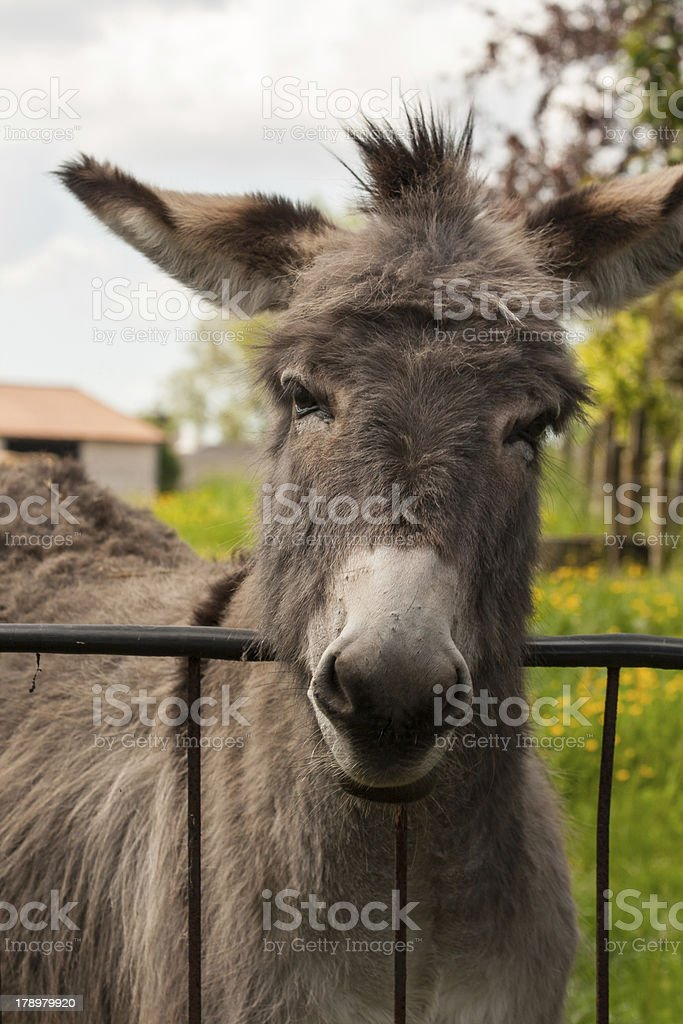 Funny mule in a Field on sunny day royalty-free stock photo