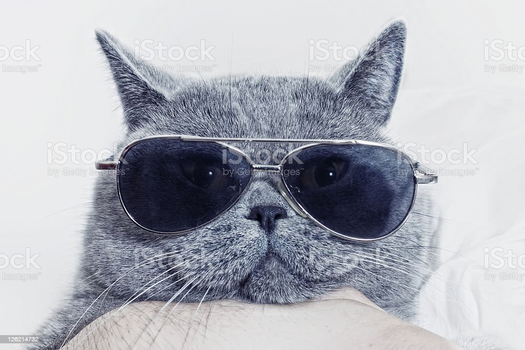 Funny muzzle of gray cat in sunglasses royalty-free stock photo
