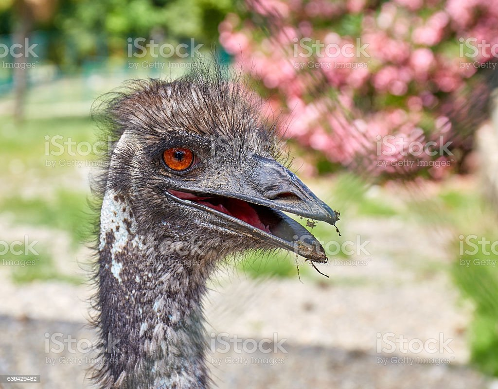 Funny ostrich head in zoo stock photo