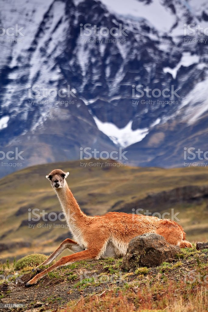Funny Patagonian Guanago royalty-free stock photo