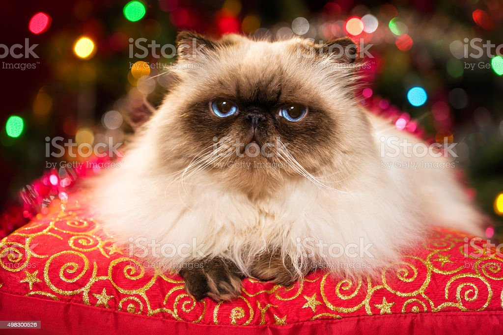Funny persian cat lying on a Christmas cushion with bokeh stock photo