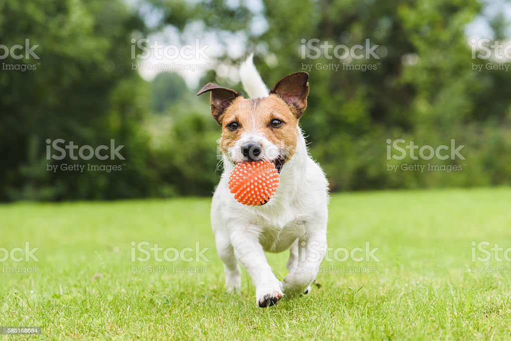 Funny pet dog playing with orange toy ball stock photo