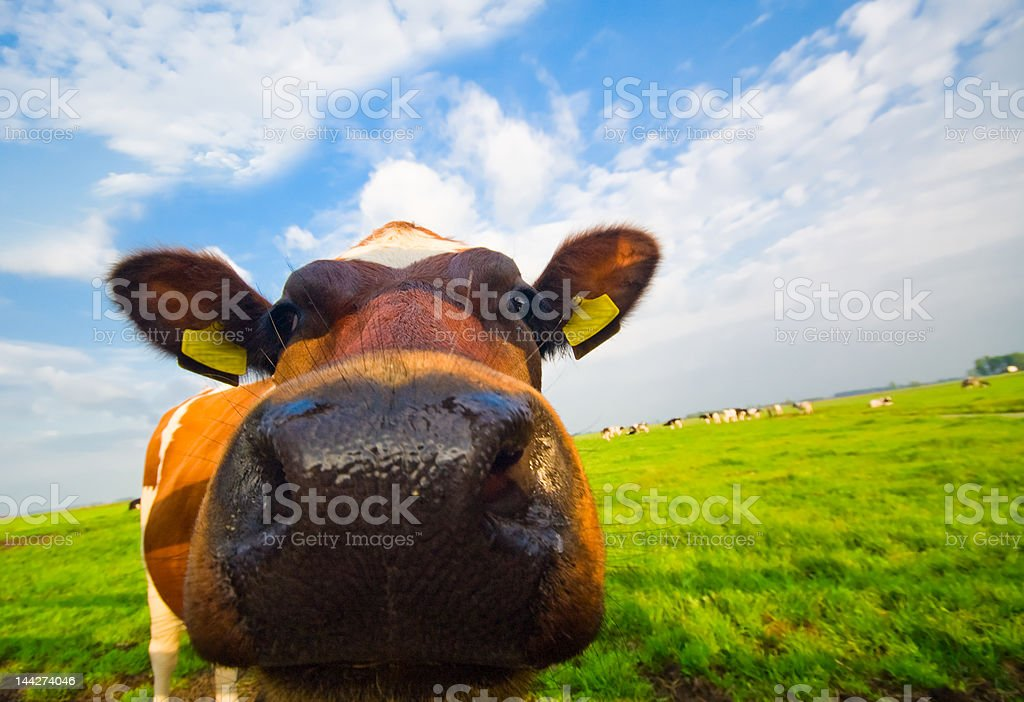 funny picture of a baby cow royalty-free stock photo