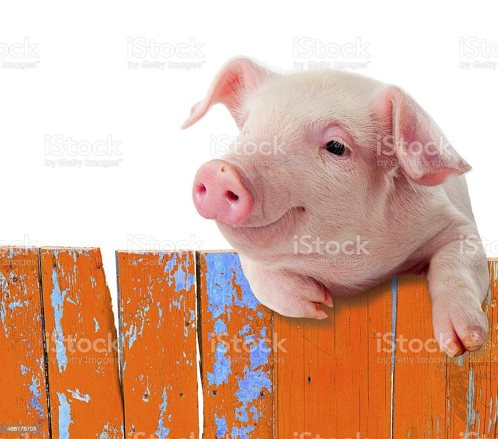 Funny pig hanging on a fence. Isolated on white background. stock photo
