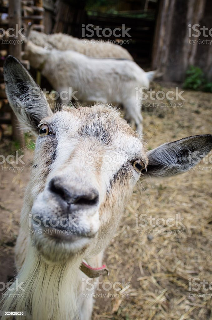 funny portrait of a goat stock photo