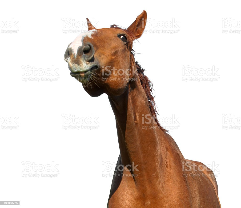 funny portrait of warmblood horse stock photo