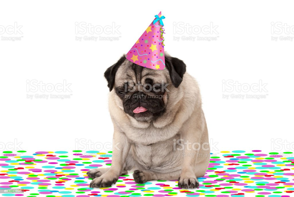 funny pug puppy dog wearing party hat, sitting down on confetti, drunk on champagne, tired with hangover stock photo