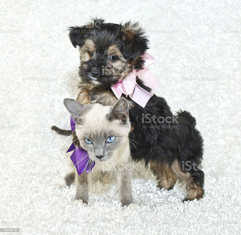 Funny Puppy and Kitten stock photo