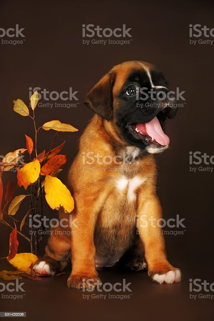 funny puppy boxer but a brown background stock photo