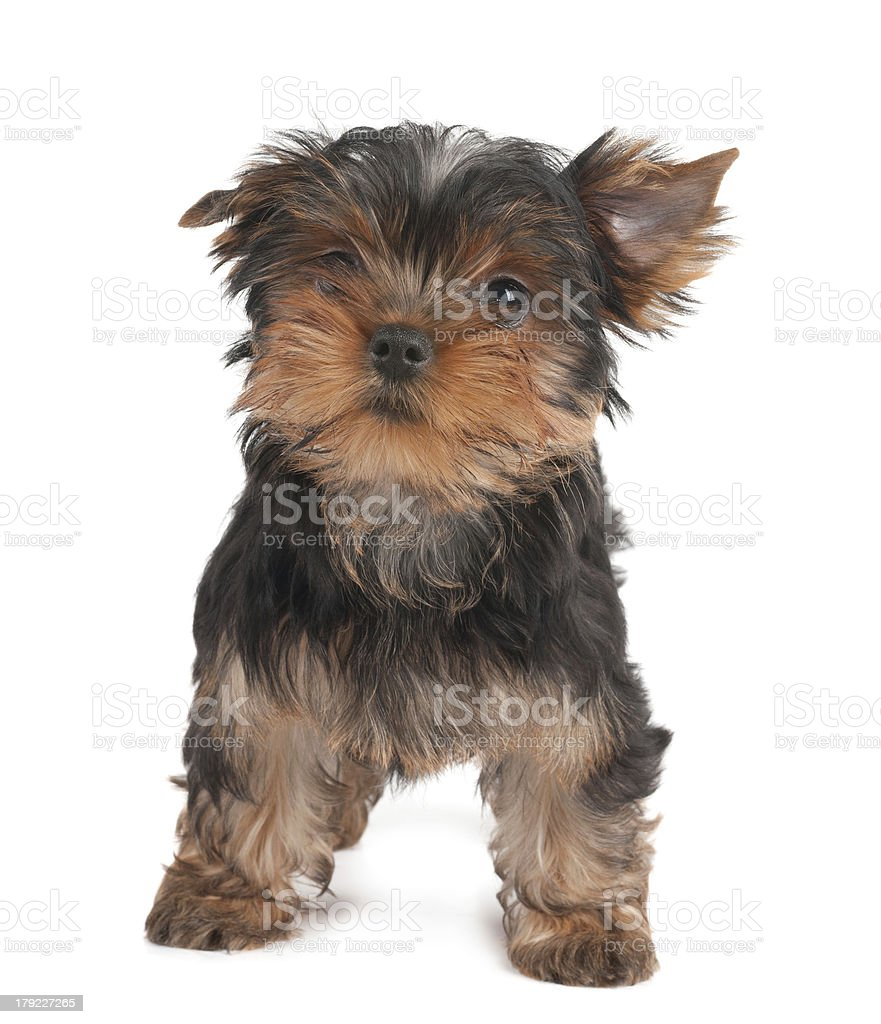 Funny puppy royalty-free stock photo